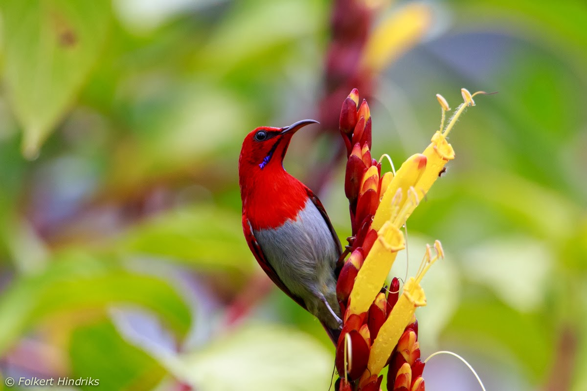 Golf picture of borneo highlands resort kuching tripadvisor - Male Temminck S Sunbird Aethopyga Temmninckii