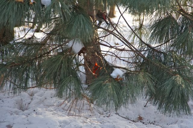 Male Cardinal and Purple Finch in pine tree