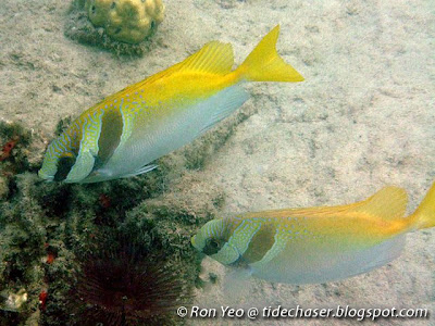 Double-barred Rabbitfish (Siganus virgatus)