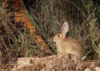 Conejo de monte-3