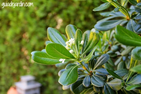 Pittosporum tobira