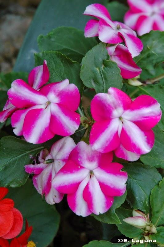 Flora belalcazarensis alegr as vegetales en casa for Una planta ornamental