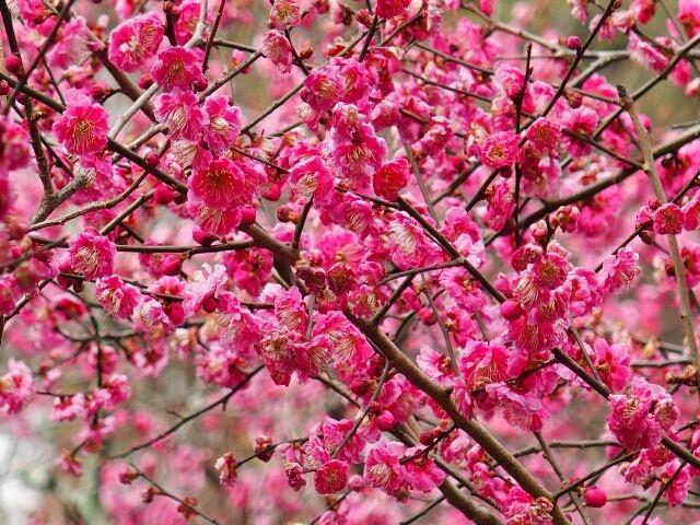 約2万坪の境内に50種約1,500本の梅の木がある。