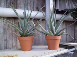 potted aloe vera plants