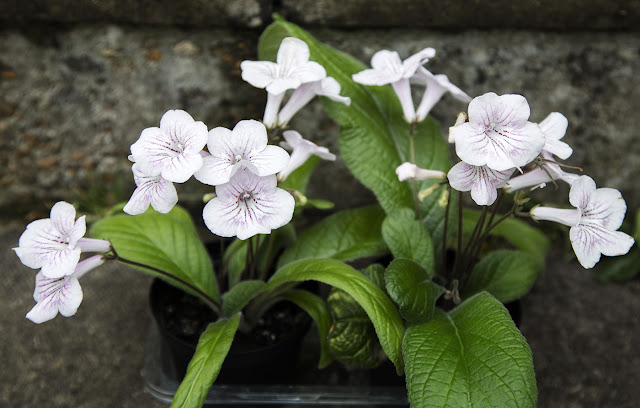 Streptocarpus cultivar grown from leaf cuttings in 2015.  Hayes, 19 October 2015.