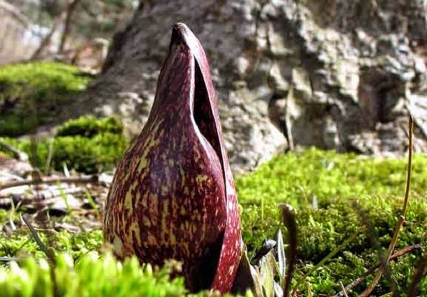 Bunga Eastern skunk cabbage