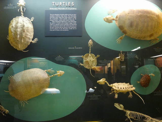 The body skeleton of turtles at National History Museum in Washington DC, USA