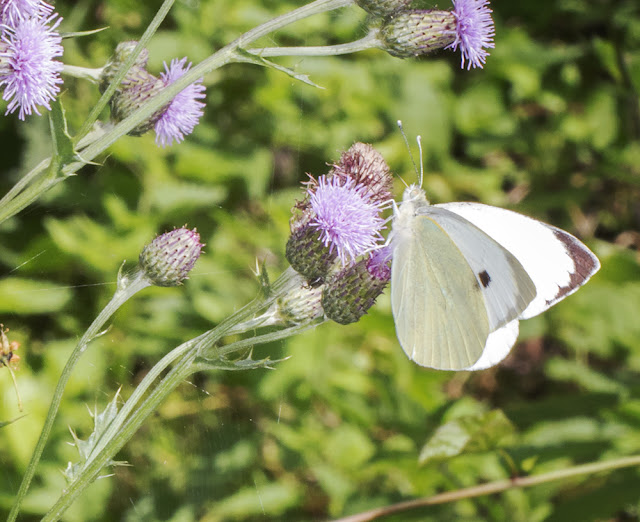 Large White, Pieris brassicae, on Creeping Thistle, Cirsium arvense.  Hutchinson's Bank, 21 July 2015.