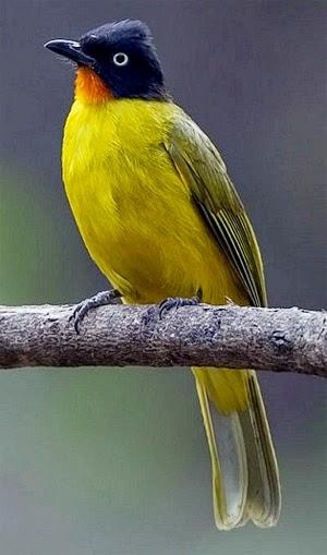 Foto Burung Kutilang Cucak Emas Tips Cara Perawatan Burung Kicau