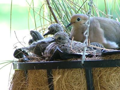 صور اجمل طيور الحمام داخل العش رفقة صغارها