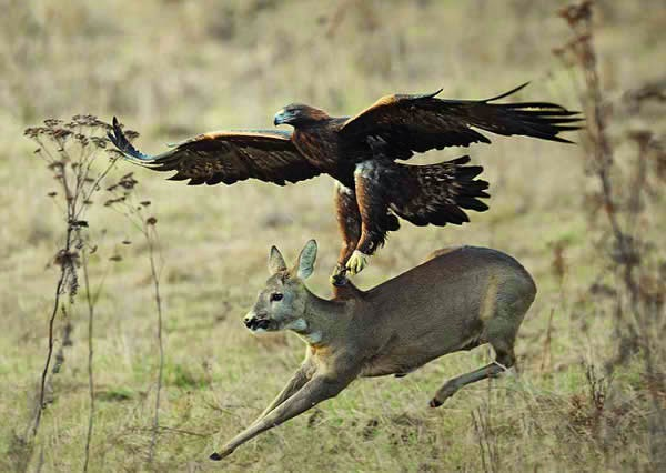 Eagle catches a deer - 6th fact