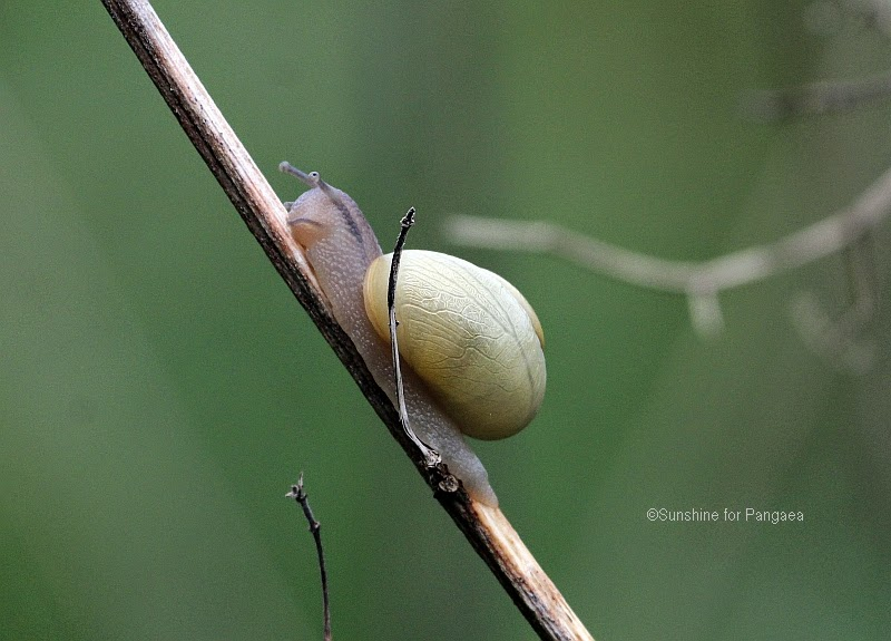 Climbing masters – White-Lipped Snails