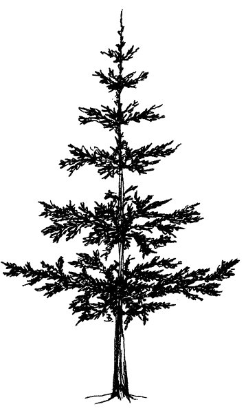 Simple Pine Tree Outli...