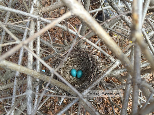 Two blue robin eggs in nest