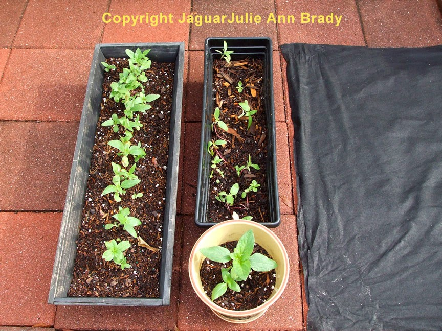 Sunflower Seedlings in Backup Pots at 23 Days ~ JaguarJulie