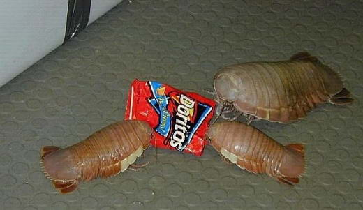 15 Serangga Terbesar di Dunia: Isopod Raksasa