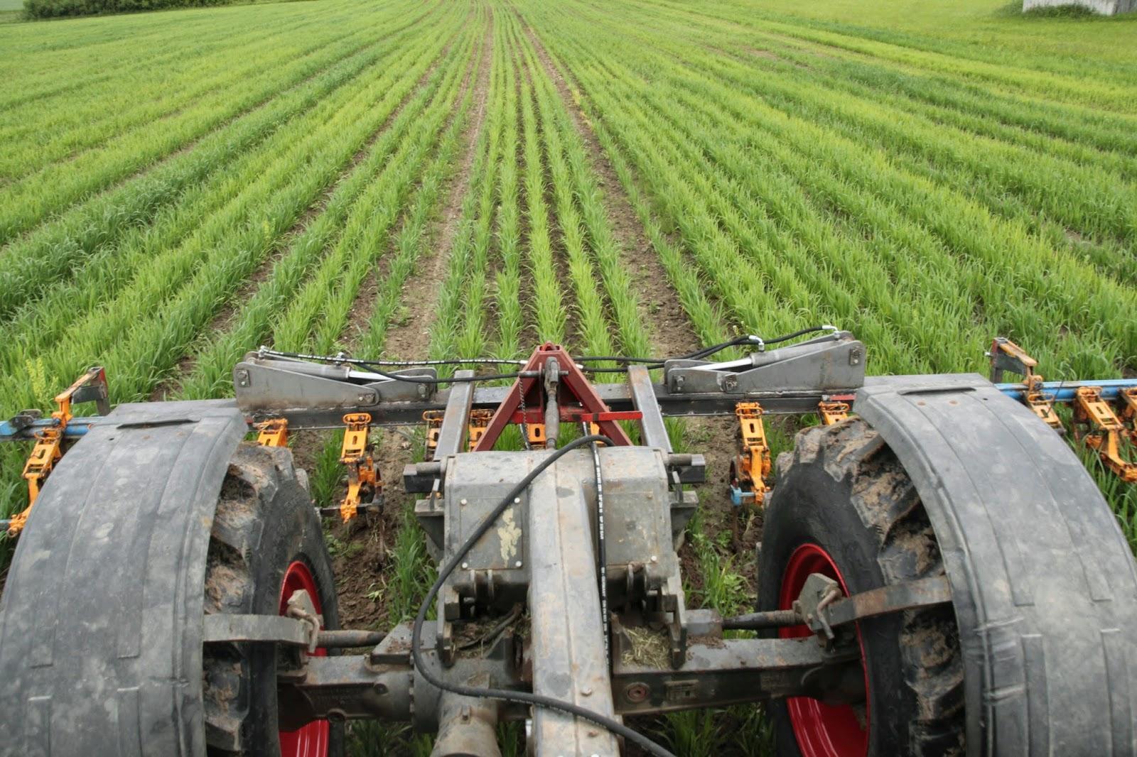 Getreidehacken beim Bauer Jens www.der-kleine-bauernhof.de - seit 2014 Ökoligisch