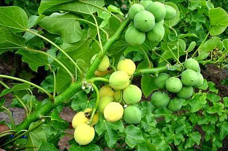 http://modzsaja.blogspot.com/2014/07/khasiat-serta-manfaat-tumbuhan-jarak-untuk-kesehatan.html