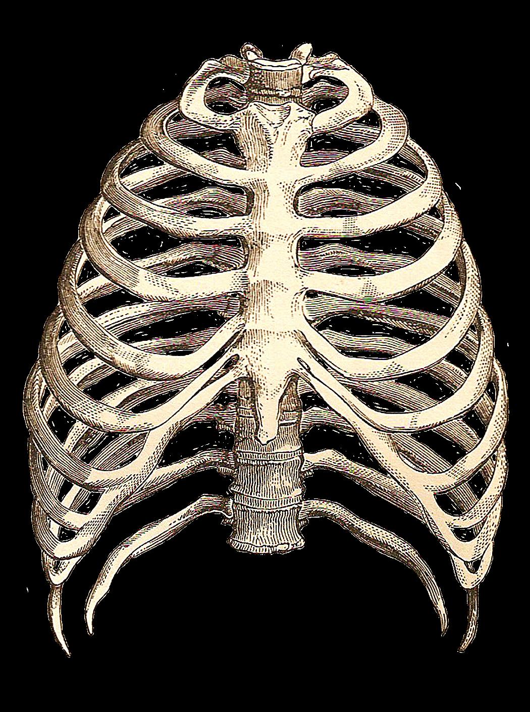 Part Of Art : Catnipstudiocollage free vintage clip art skeleton