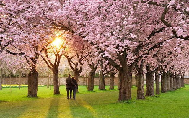 Bomen met roze bloemen in de lente