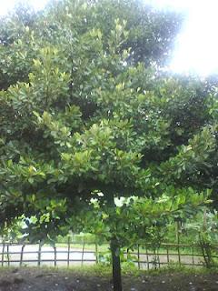 Pohon Sawo