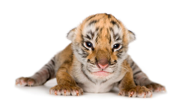 Extremamente galeria-filhotes-fofos-tigre.jpg XJ28