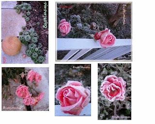 Eisblumen, Rosen
