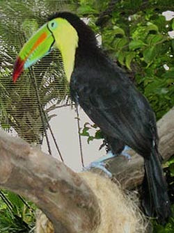 Rainbow Billed Toucan Picture