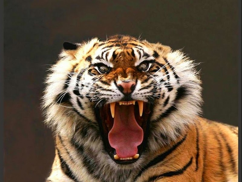 Touching And Moving An Angry Tiger Is A Bad Idea If You Dont Believe Us Try The App See For Yourself What Can Happen