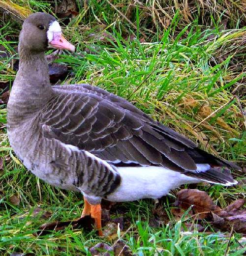 Indian birds - Greater white-fronted goose - Anser albifrons
