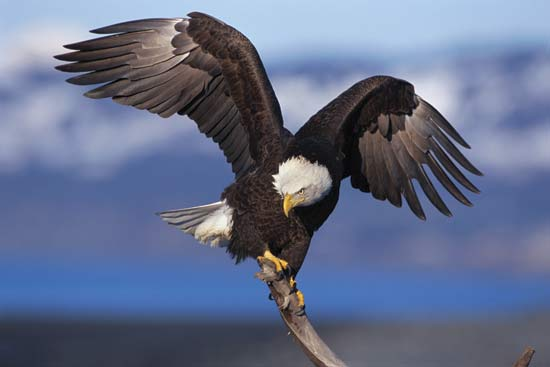 Eagle bird images - photo#6