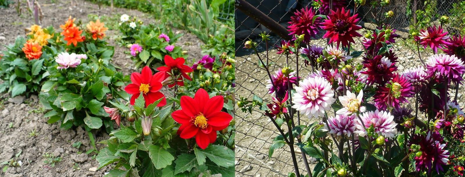10 Flori De Gradina Care Infloresc Toata Vara
