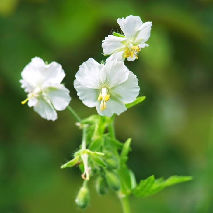 Planter til den nemme og frodige have. Her erbølgekronet storkenæb, geranium phaeum et oplagt valg til havens bede