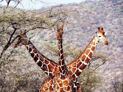 Finalist of Travel Photo of the Year - Three Headed Giraffe