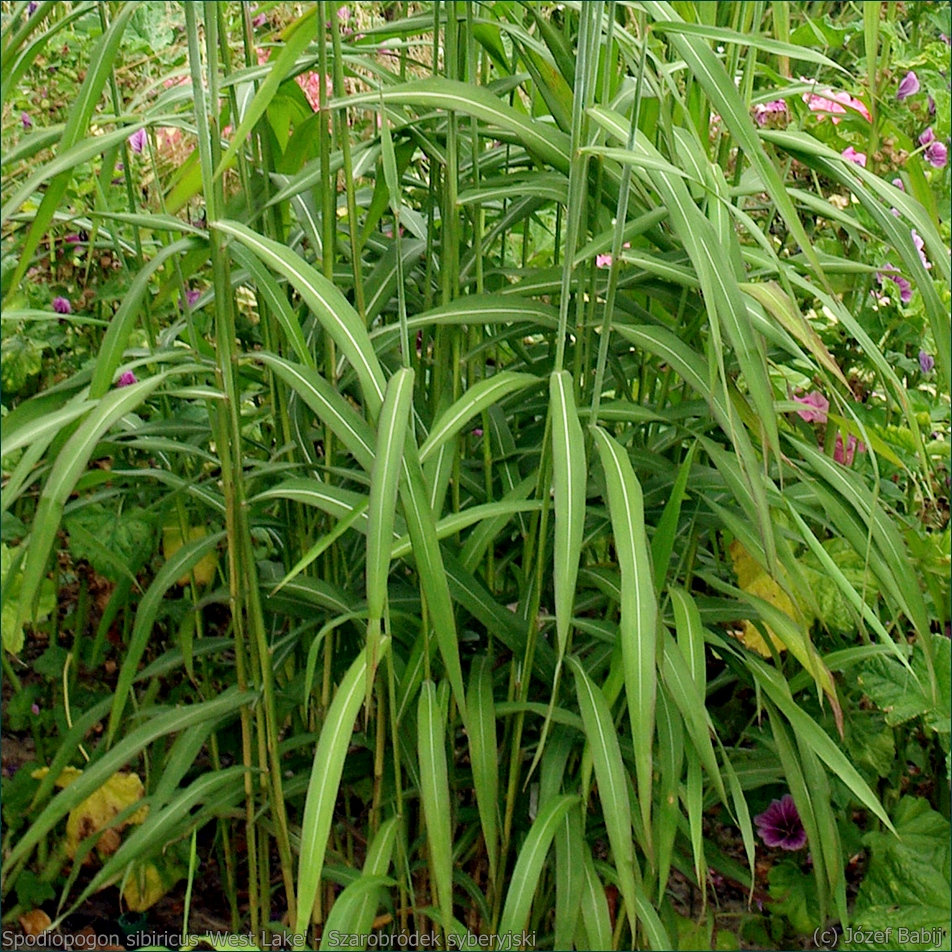 Spodiopogon sibiricus 'West Lake' - Szarobródek syberyjski , Spodiopogon syberyjski liście