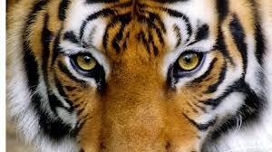 Tiger Pupil
