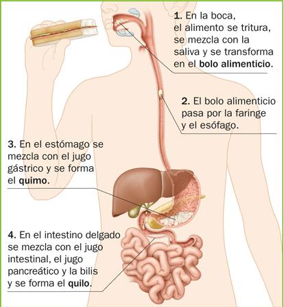El blog de María: EL SISTEMA DIGESTIVO: La digestión: