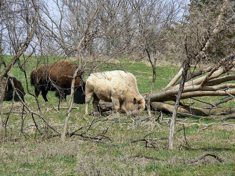 white buffalo photo