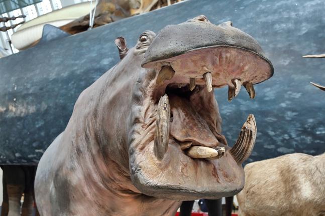 Hipopótamo enfadado en el Museo de Historia Natural