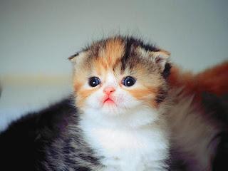 Gambar Anak Kucing Imut