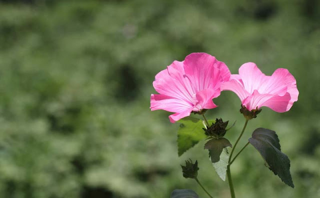 Annual Mallow Flowers Pictures