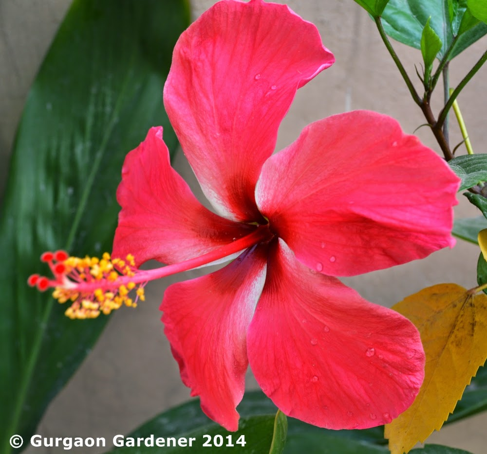 Gurgaon Gardener Summer Sizzler 7 Hibiscus Chinese Rose