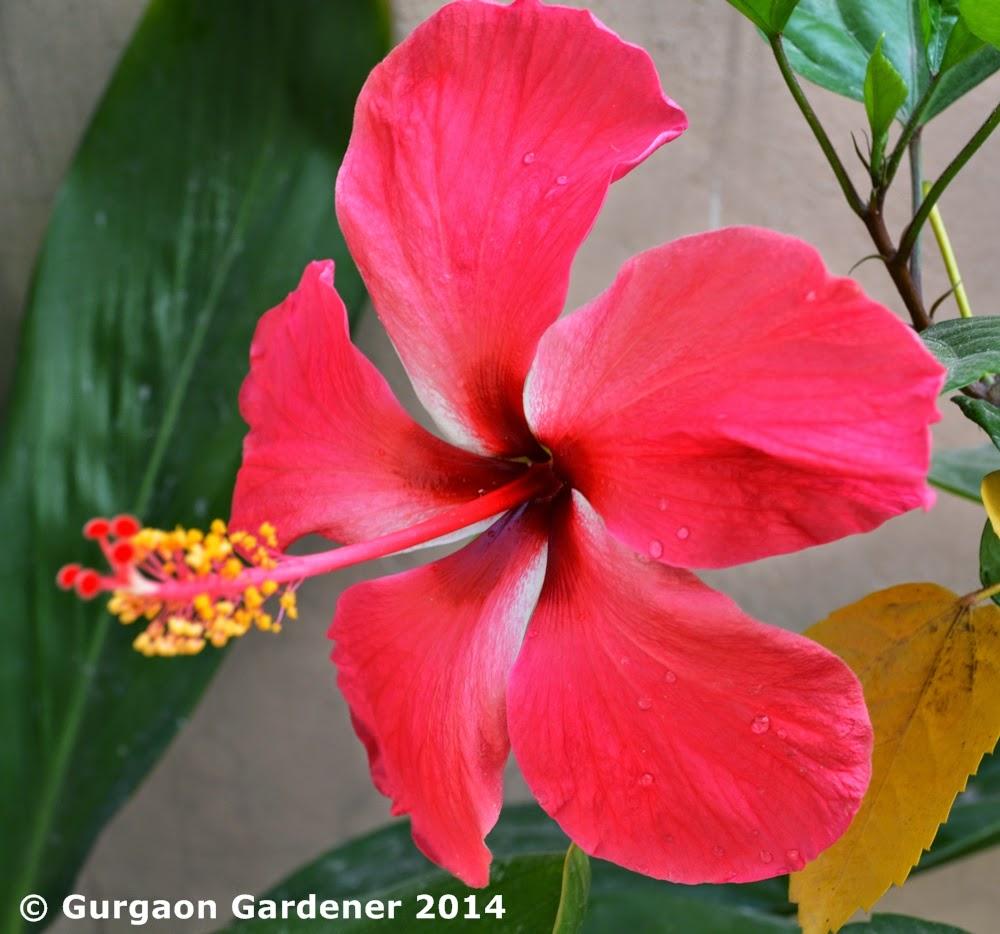 Gurgaon gardener summer sizzler 7 hibiscus chinese rose gurgaon gardener izmirmasajfo Choice Image