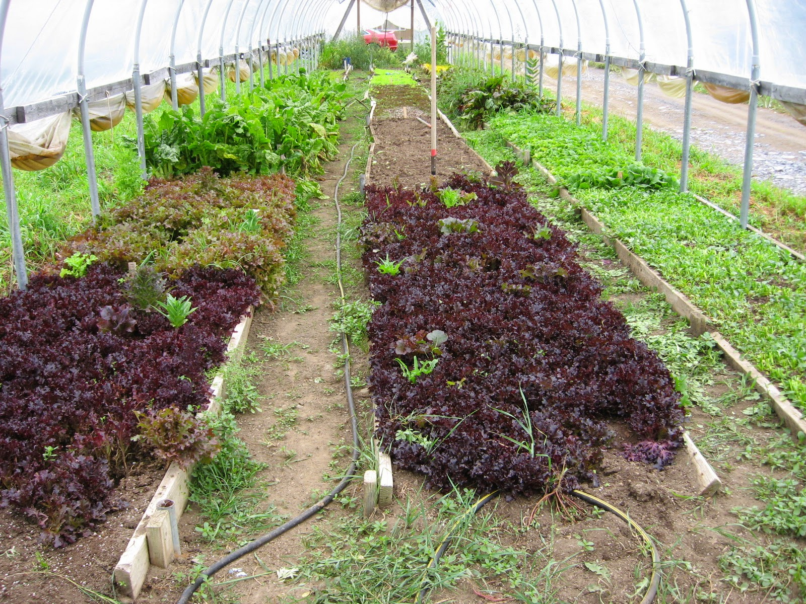 greenhouse with lettuce