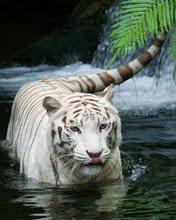 Bijeli tigar download besplatne pozadine slike za mobitele