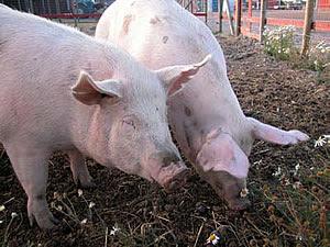 لماذا الخنزير هو الحيوان الوحيد الذي لا يستطيع النظر الى السماء؟ 20
