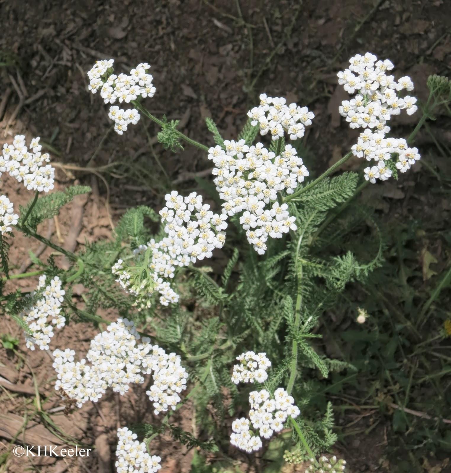 Achillea millefolium yarrow