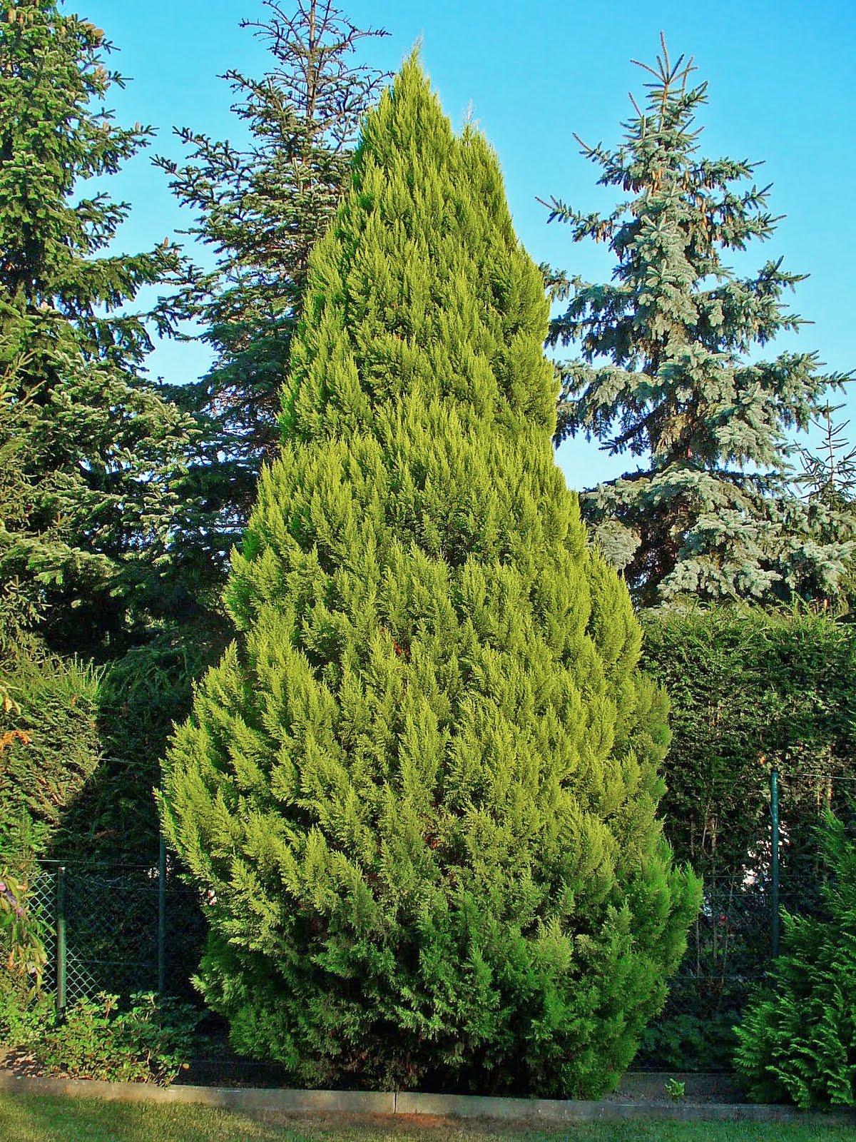 Arte y jardiner a chamaecyparis lawsoniana y sus variedades for Variedades de pinos para jardin