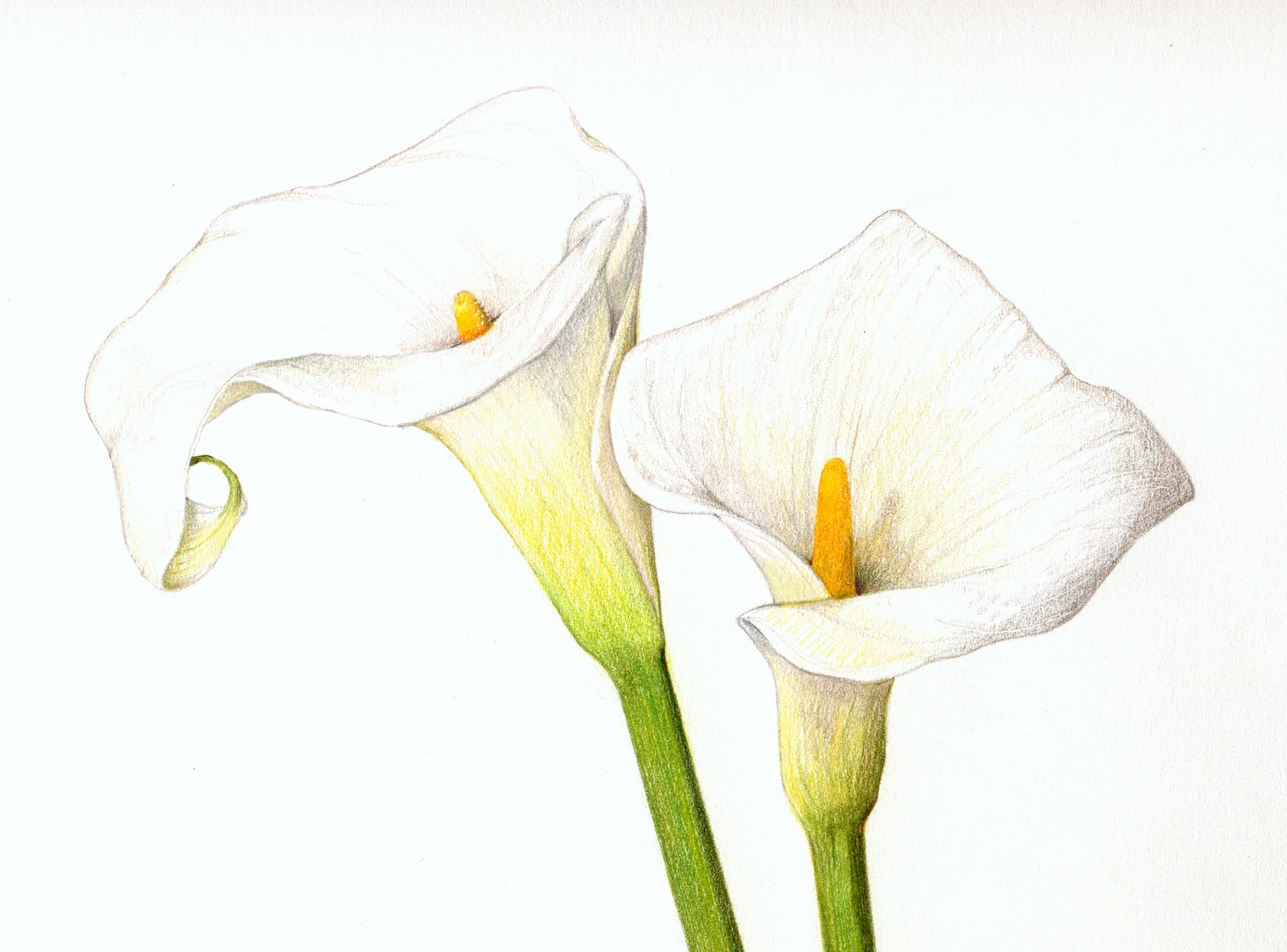 Calla Lily DrawingCalla Lily Flower Drawings