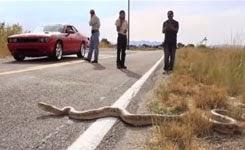 15ft Fake Python Prank
